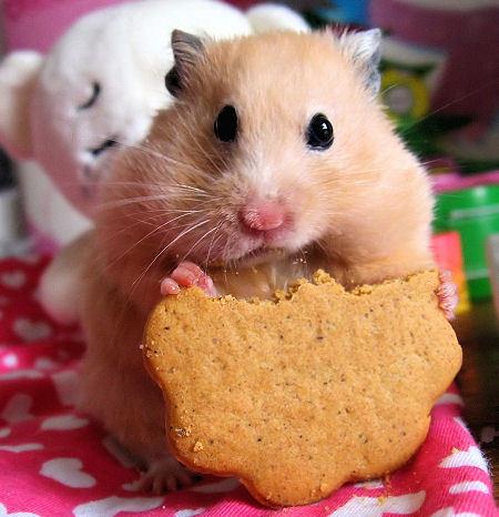 hamster-pet